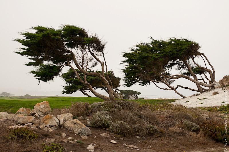 Деревья, привыкшие к ветру
