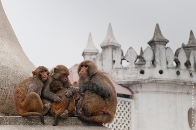 Обезьяны в Непале
