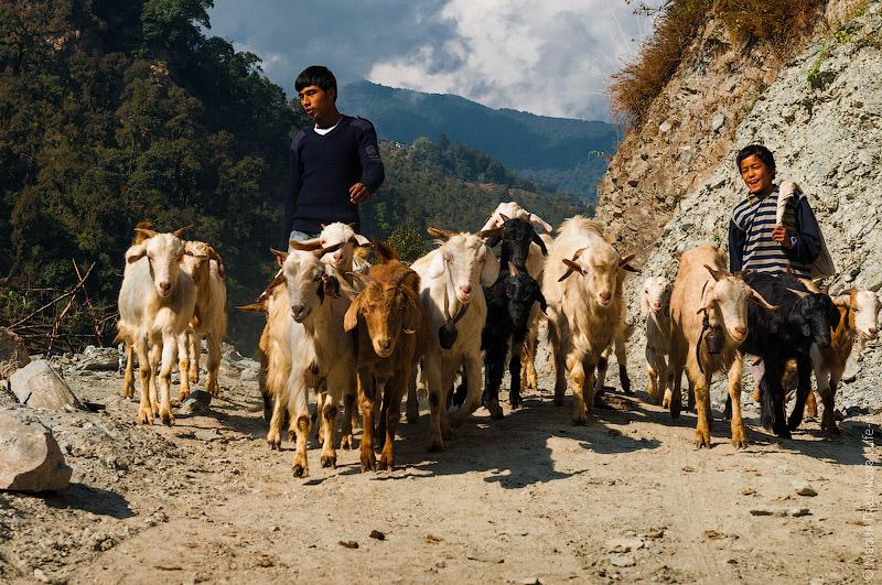 Непальские козы