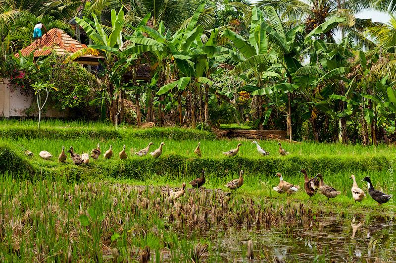 Утки на рисовых полях