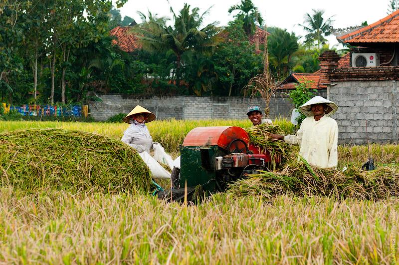 Сбор риса