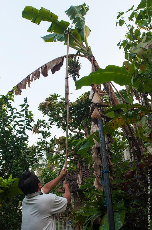 Кетут срезает бананы с пальмы