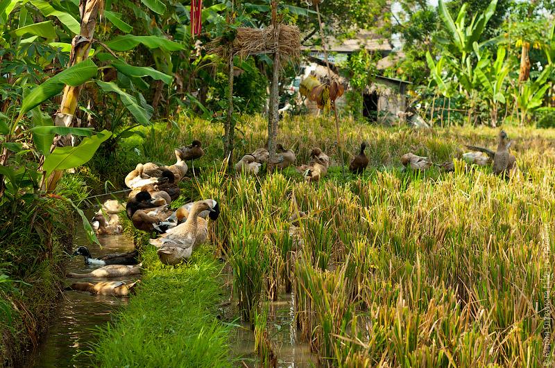 Гуси на рисовых полях