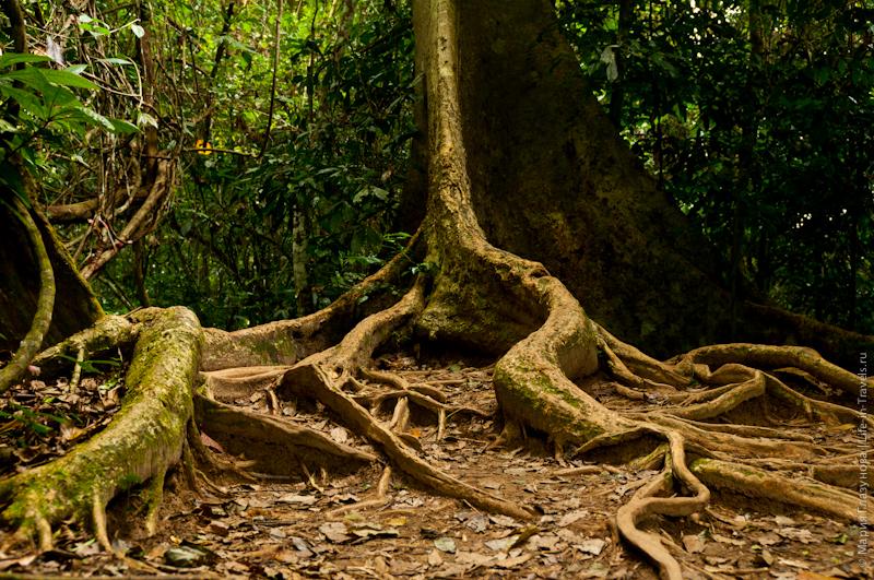Мощные корни деревьев