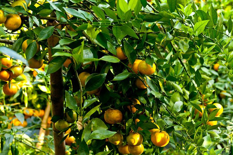 На каждом дереве около 50-70 плодов