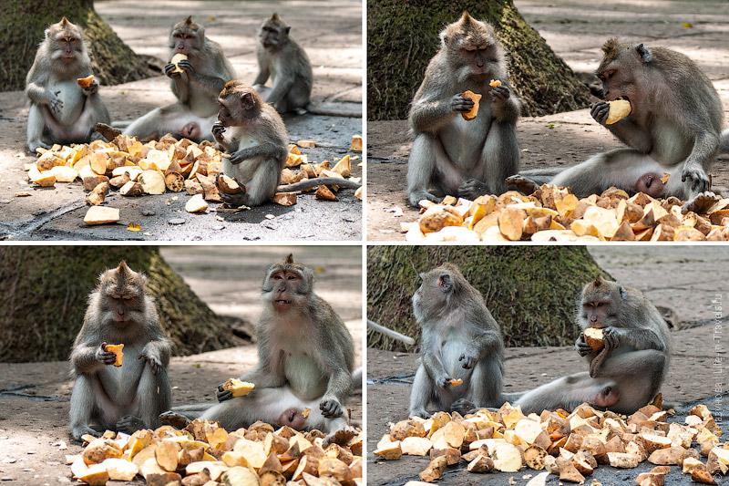 Обезьяны завтракают бататом