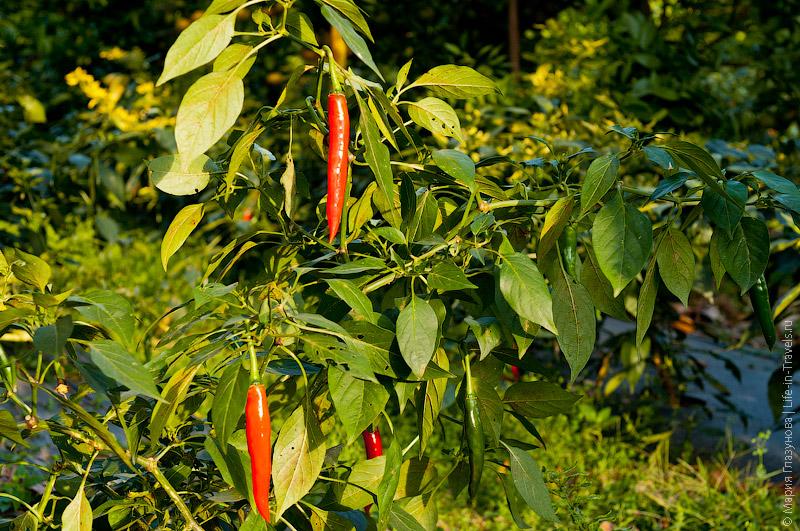 Перец Чили на мандариновых плантациях