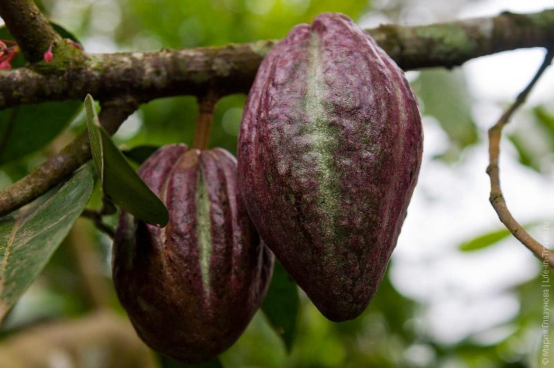 Какао на Бали