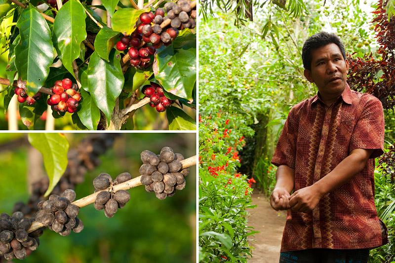 Кофе Лювак (Kopi Luwak)