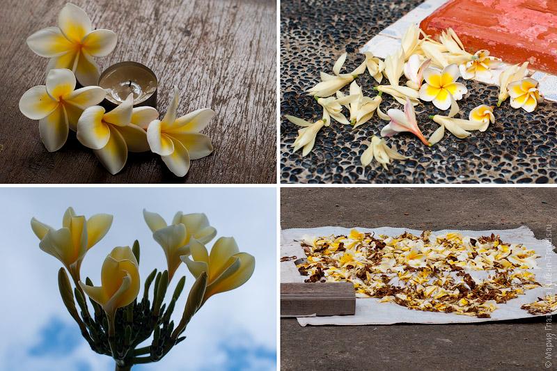 Франжипани - цветок для обрядов на Бали