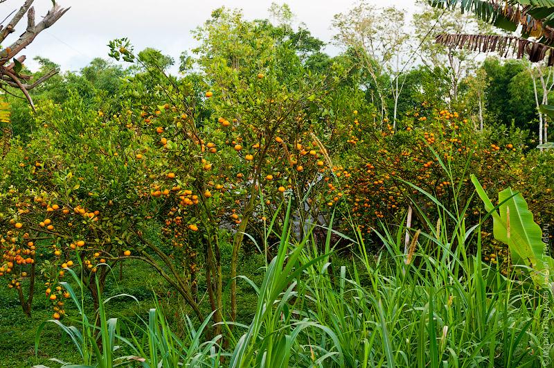 Мандариновые плантации