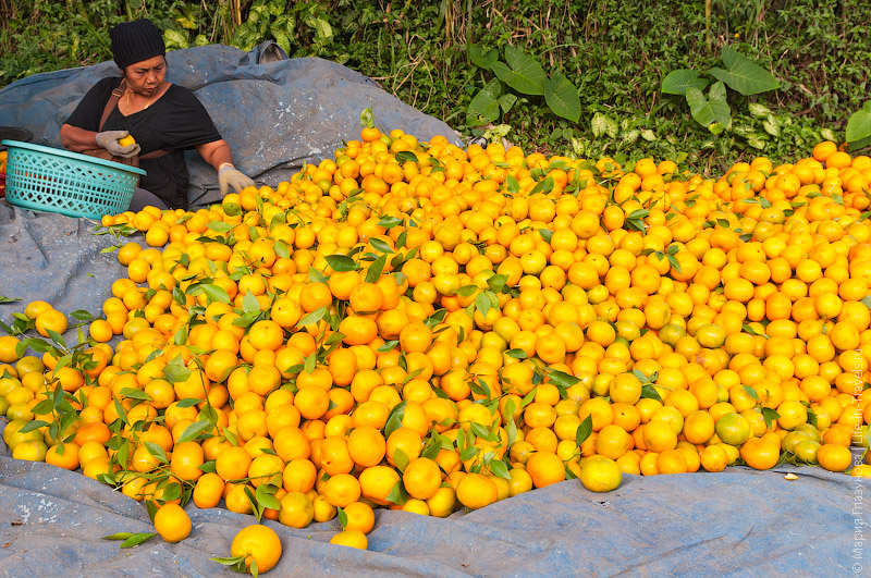 Отбор мандаринов