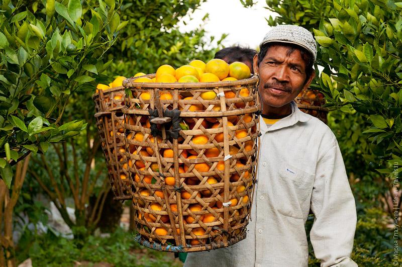Коромысло для мандаринов