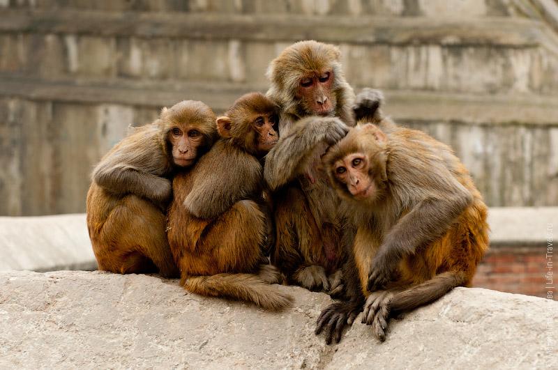 Обезьяны в Катманду
