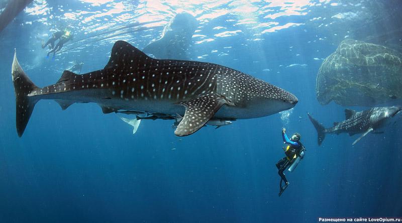 Китовые акулы на Филиппинах