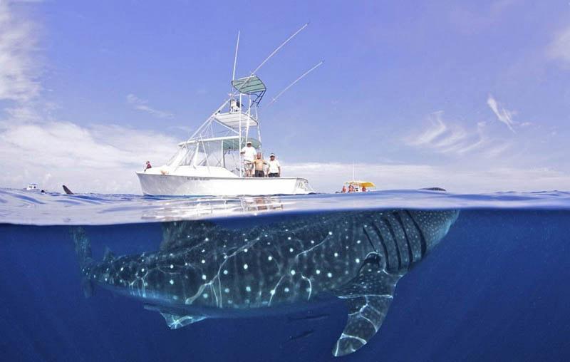 Китовая акула на Филиппинах
