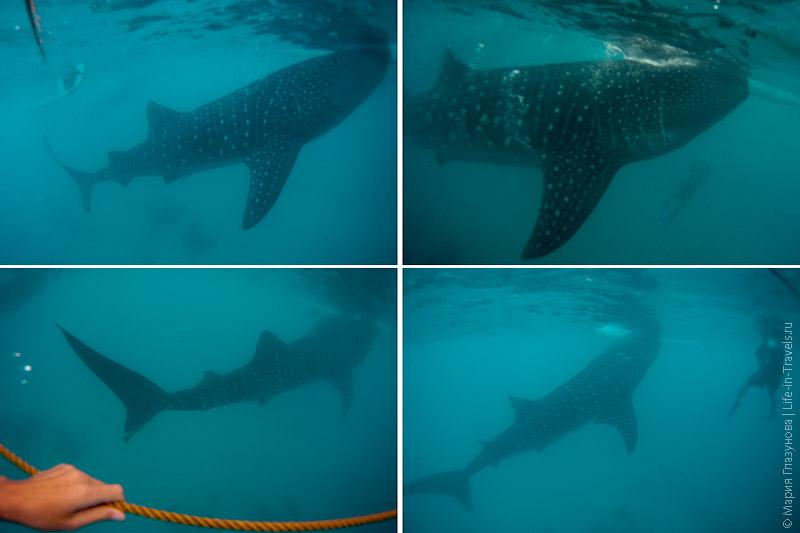 Фото китовых акул в Ослобе