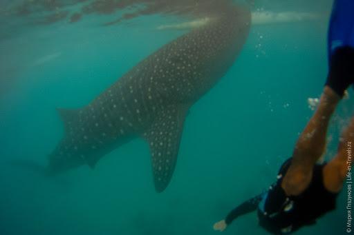 Китовые акулы в Ослобе на Филиппинах
