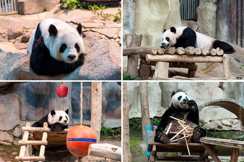 Панды в Чиангмае