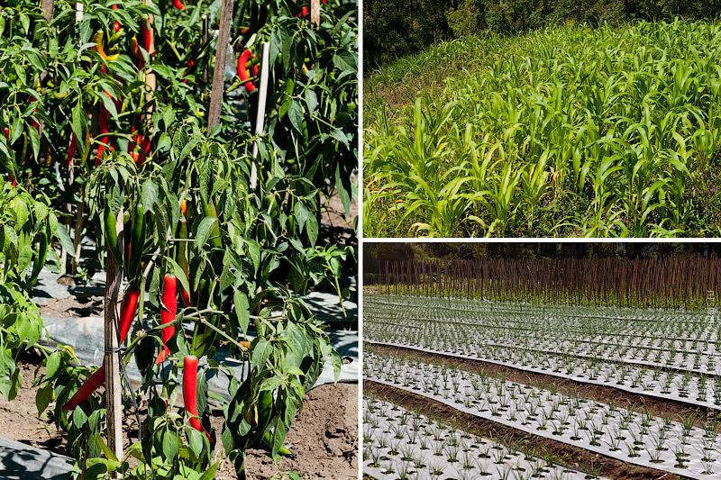 Огороды в Кинтамани