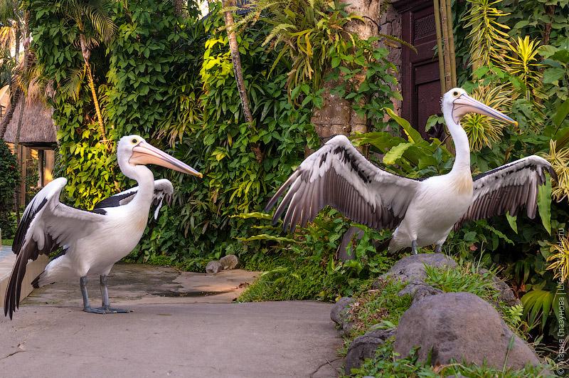 Красавцы пеликаны