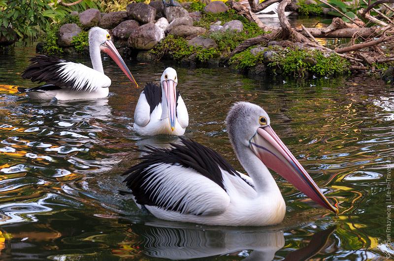 Пеликаны на Бали