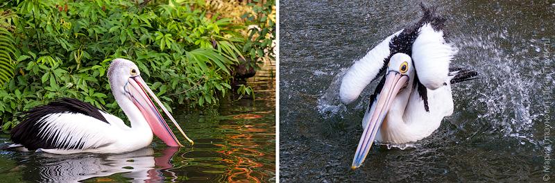 Водные процедуры у пеликанов