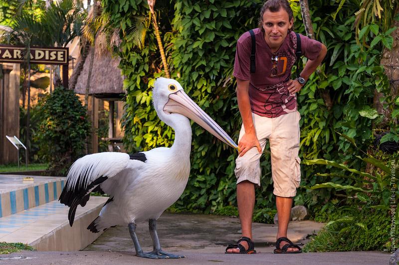 Безбоязные пеликаны