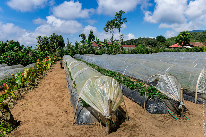 Клубничные фермы на Бали