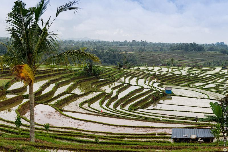 Рисовые террасы на Бали.jpg