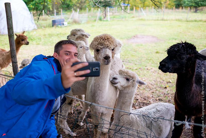 Альпаки – самые мимимишные животные на свете – финская ферма, деревня Матильдедал