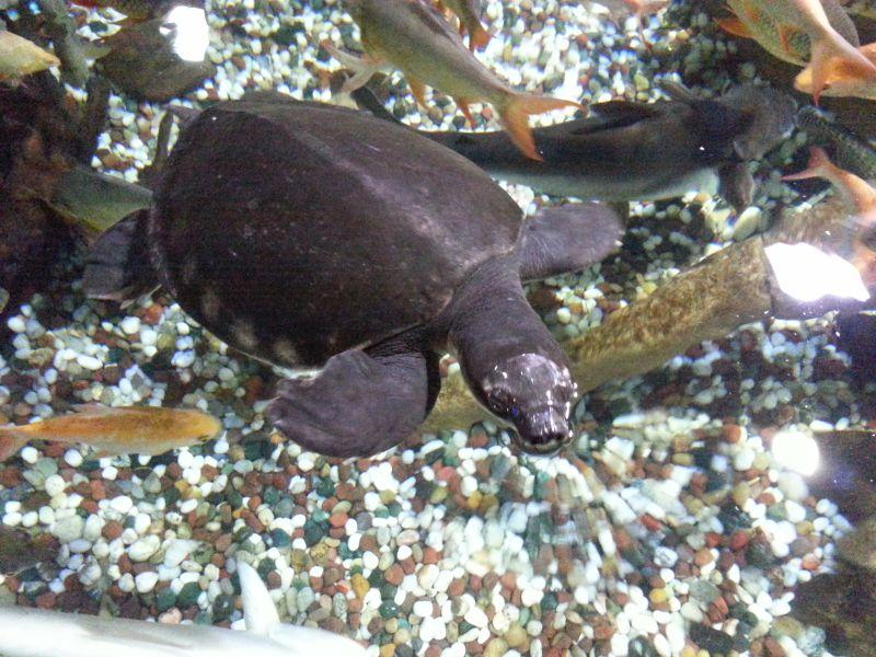 Черепаха в океанариуме в Дубай Молле